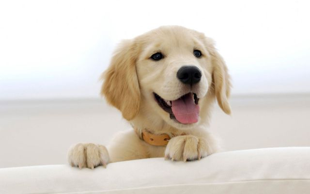Pui golden retriever 1280x800